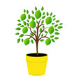 young green lemons yellow pot tree lime vector image vector image