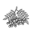 rowan sorbus branch sketch engraving vector image