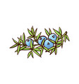 ripe blue juniper berries vector image