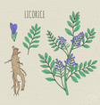 licorice botanical isolated plant vector image vector image