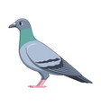 common pigeon bird on a white background vector image