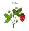garden strawberry fragaria ananassa vector image