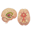 Brain inferior and lateral view vector image vector image