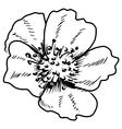 primrose vector image vector image