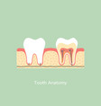 healthy tooth anatomy vector image vector image