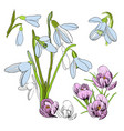 drawing sketch of snowdrop first vector image vector image