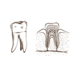 Teeth isolated on a white backgrounds vector image vector image