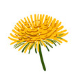 image orange chrysanthemum a colored vector image