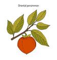 japanese persimmon diospyros kaki vector image vector image