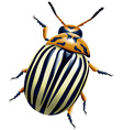 potato bug vector image vector image