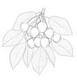 sketch of sweet cherry vector image vector image