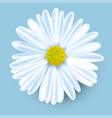 white chamomile flower isolated on blue vector image vector image