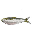 alewife fish on white background vector image vector image