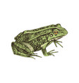 Hand drawn common water frog