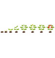 tomato plant stage growth set on white background vector image