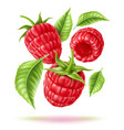 realistic raspberry juicy fruit in motion vector image vector image