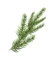 branch of pine tree Spruce pine fir Christmas tree vector image vector image