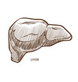 liver internal organ isolated sketch cirrhosis or vector image vector image