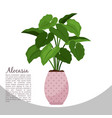 alocasia indoor plant in pot banner vector image vector image