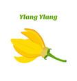 tropical flower - ylang-ylang cananga vector image vector image