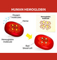 human hemoglobin vector image vector image