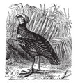 faithful kamichi or crested screamer vintage vector image vector image