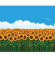 Picturesque field of sunflowers vector image vector image
