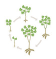 cassava plant round growth stages set manihot vector image vector image
