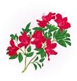 red rhododendron twig with flowers and leaves vector image vector image