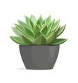 echeveria cactus succulent plant vector image