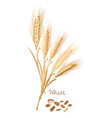 wheat with leaves stems grain food ingredient vector image