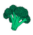 hand drawn of cauliflower vector image vector image