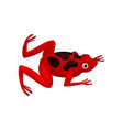small red frog with black spots on back amphibian vector image vector image