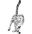 running cheetah hand-drawn with ink vector image vector image