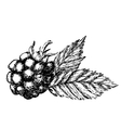 Blackberry hand drawn sketch vector image