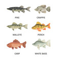 river fish set predatory gray pike and broad vector image vector image