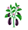 growing eggplant isolated on white vector image