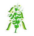 growing peas plant isolated on white