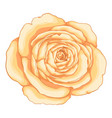 beautiful rose isolated on white background vector image vector image