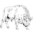 powerful huge buffalo with horns vector image