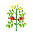 growing tomato plant isolated on white vector image