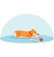 lone welsh corgi is sad without an owner sick vector image vector image