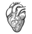 human heart vector image vector image