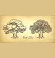 ink sketch oak tree vector image