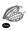 hand drawn sketch style cocoa bean vector image vector image