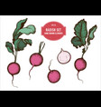 collection of hand drawn colored radish vector image vector image