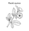 maule quince chaenomeles japonica medicinal vector image vector image