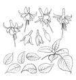 Fuchsia isolated on white background vector image