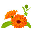 calendula flowers with leaves isolated on white vector image