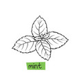 mint hand drawn vector image vector image